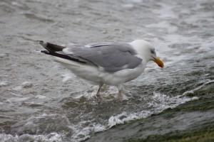 Moewe_Norderney01